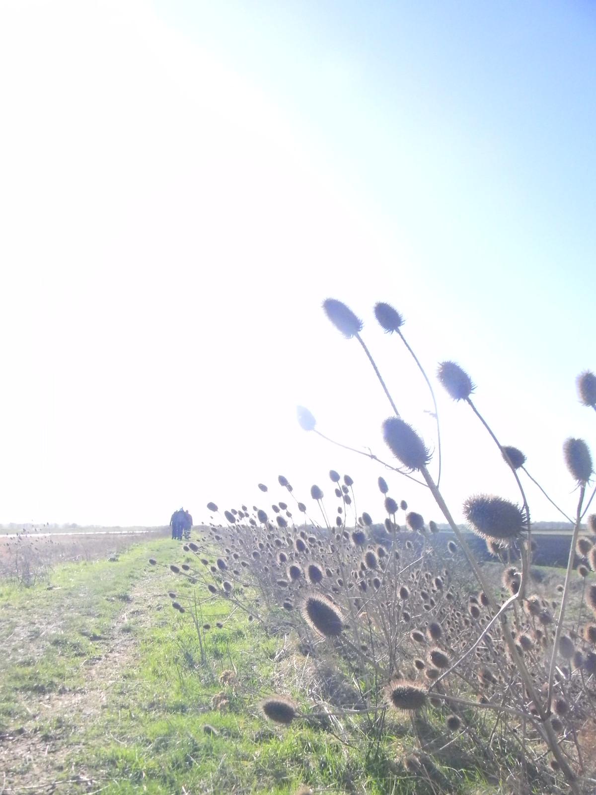 Teasels near the Ouse Ely Circular