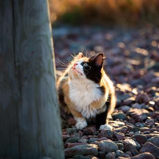 Calico Cat | X13873  | Ulf Bodin | Flickr