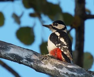 Större Hackspett / Great Spotted Woodpecker | by Stefan Berndtsson