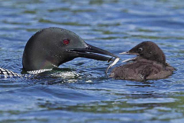Beak to beak feeding