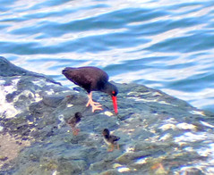 Black Oystercatcher adult with chicks