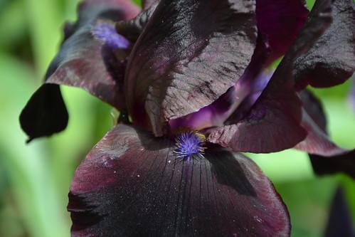 Nos Iris : floraisons 2012 32665736212_029c121acf