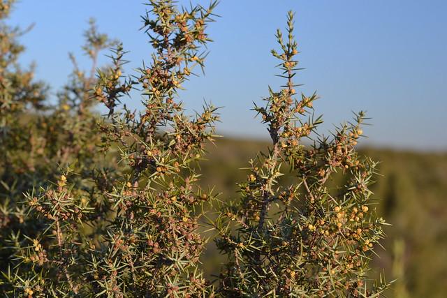 Juniperus oxycedrus - cade 33297261086_1591f7d744_z