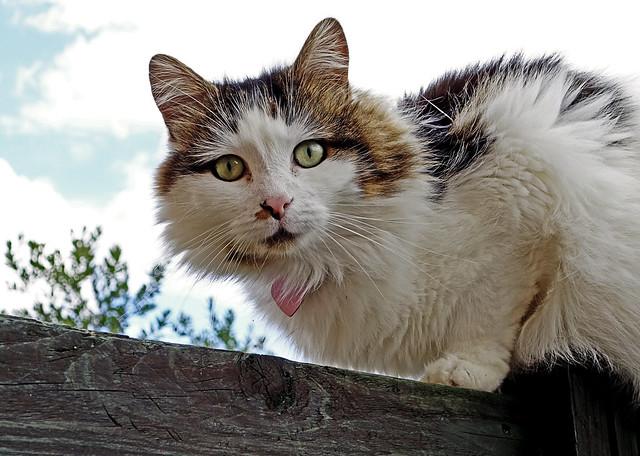Tilly (3 legs but still sitting on a high fence) (Sony RX100 Mk II)