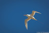 Red-tailed Tropicbird by peter orr photography