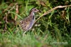 Buff-banded Rail (Gallirallus philippensis) by Paolo Dolina