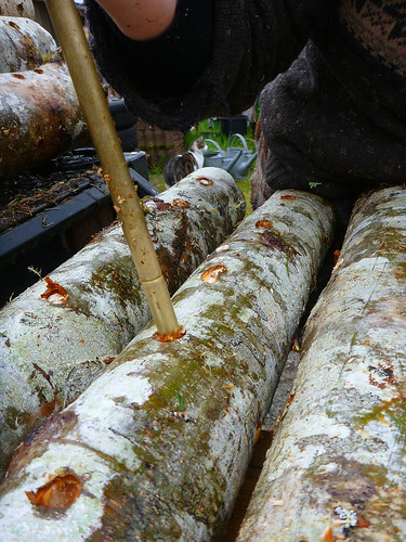 inoculating shiitake logs | by red alder ranch
