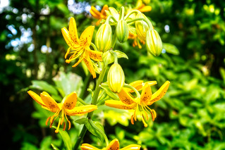 Yellow Lilies in Golders Hill Park | by garryknight