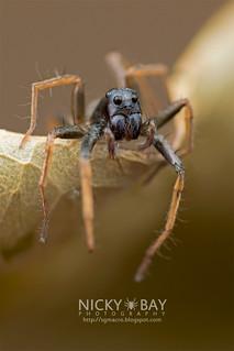Wolf Spider (Ovia sp.) - DSC_3419 | by nickybay