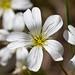 Flickr photo 'Cerastium arvense BS090513-267' by: Sarah Gregg Petriccione.