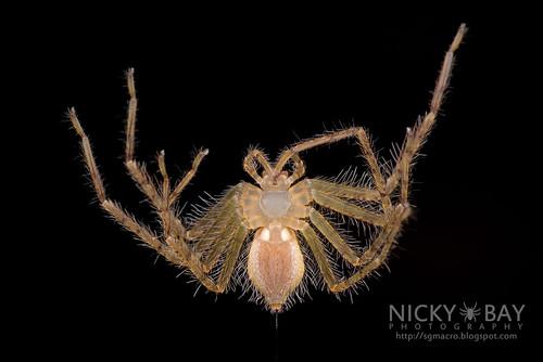 Huntsman Spider (Sparassidae) - DSC_1415   by nickybay