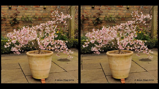 Small Cherry Tree - 3d parallel view