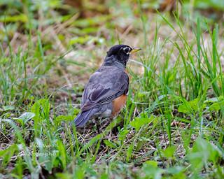 American Robin male (1 of 1)