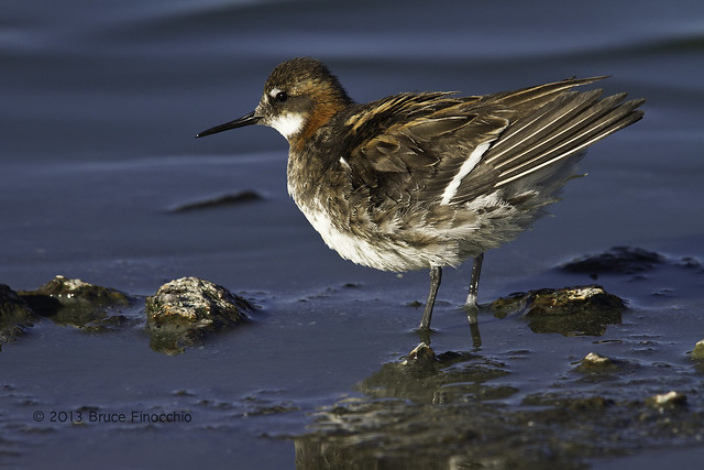Red-necked Phalarope Ruffles Feathers Along The Shore
