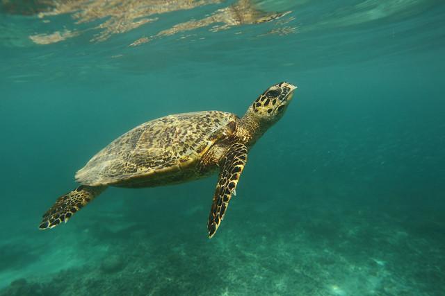 Hawksbill Turtle, Gili Tranwangan
