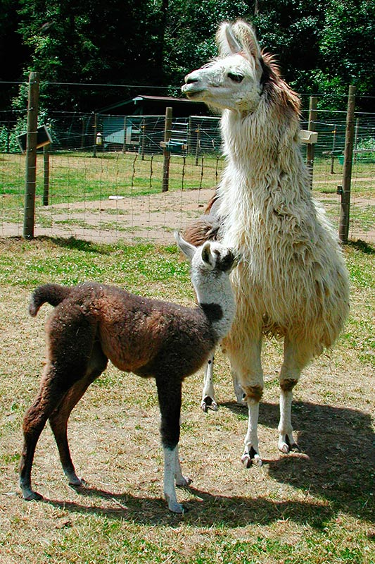 Llama Ben and mother Primrose on a Llama Farm in Victoria, Vancouver Island, British Columbia, Canada