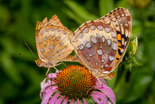 macro us pennsylvania butterflies content insects places technical folder fritillary takenby chestercounty 2015 springtonmanor peterscamera petersphotos fritilliary canon7d fritilliarygreatspangled 201507july 20150707springtonmacro