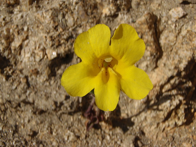 Mimulus brevipes (Widethroat yellow monkeyflower)