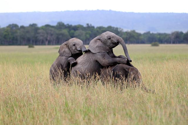 Three elephant calves playing - Maasai Mara, Kenya, 2012