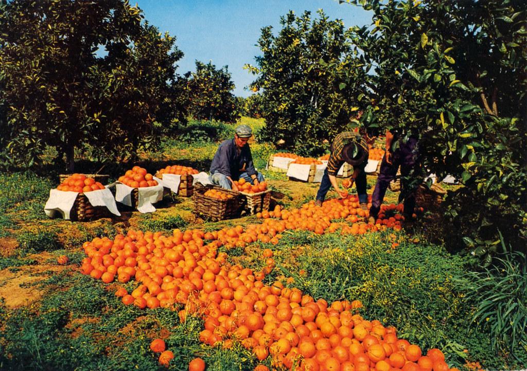 Apanha da laranja, Algarve (Portimagem, s.d.)