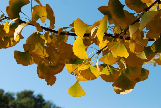 Ginkgo Biloba Tree Fall Colors