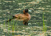 Masked Duck - Nomonyx dominicus (Anatidae, Oxyurinae) 111s-8642 by Perk's images