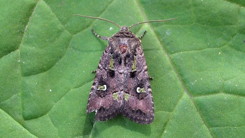 #10397 – Lacinipolia renigera – Bristly Cutworm Moth | by Wildreturn