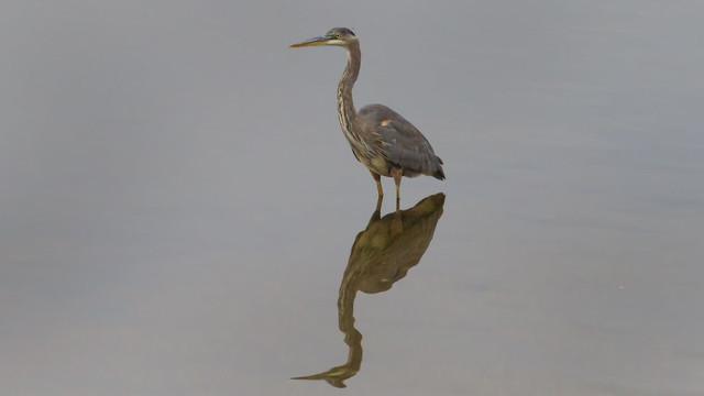 Great Blue Heron,.