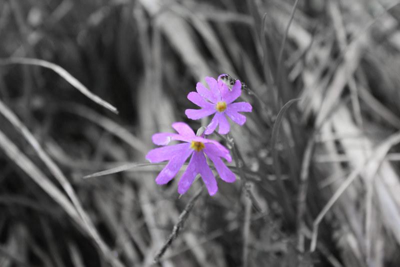 高山植物_15