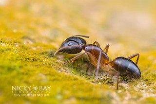 Ant (Formicidae) - DSC_0937