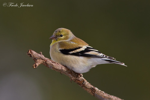 American Goldfinch (Spinus tristis) | by Frode Jacobsen