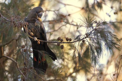 sunrise nikon feeding birding australia 300mm queensland nikkor lamingtonnationalpark glossyblackcockatoo calyptorhynchuslathami duckcreekroad casuarinacristata d800e