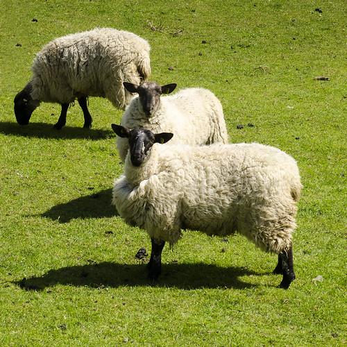 ireland wool animal work sheep farm farming domestic pasture production grazing