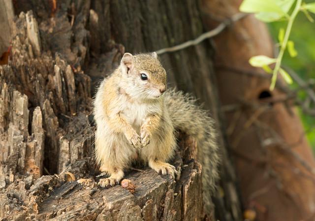 Mopane Squirrel, Paraxerus cepapi, Falcon College, Esigodini, Zimbabwe