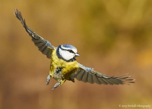 Blue Tit - Cyanistes caeruleus   by Jerry Nicholls