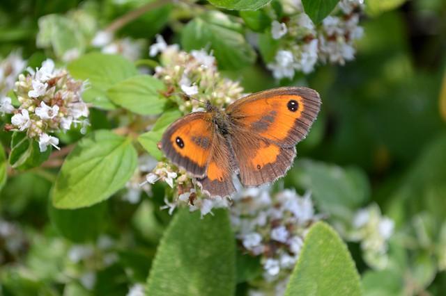 Gatekeeper Butterfly Pyronia Tithonus