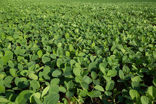 High Oleic Soybeans | by UnitedSoybeanBoard