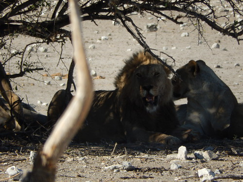 Etosha NP - leeuw
