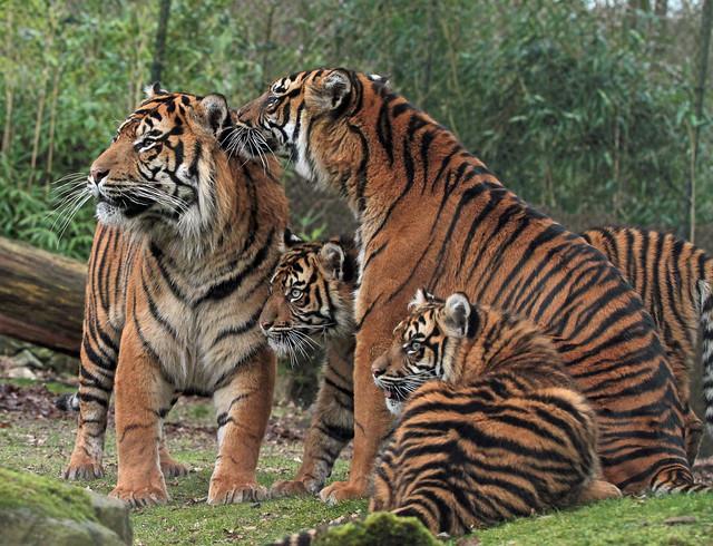 sumatraanse tijger, Aryo, Jarum Janine en Lara burgerszoo IMG_1224
