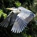 HERON FLIGHT by Shaun's Wildlife Photography