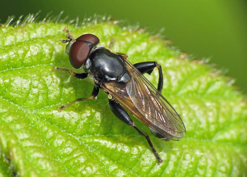 Hoverfly - Tropidia scita