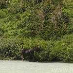 Moose grazing at Cracker Lake
