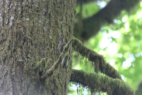 hairywoodpecker picoidesvillosus picoides villosus schaferstatepark