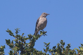 Northern Mockingbird-IMG_4755-001 | by gimlack