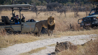 Cecil: How hard is it to hunt a lion? | by Vince O'Sullivan