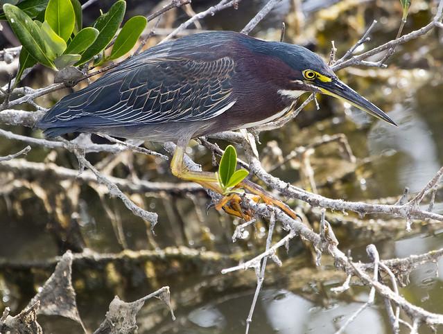 Merritt Island National Wildlife Refuge Florida green heron bird