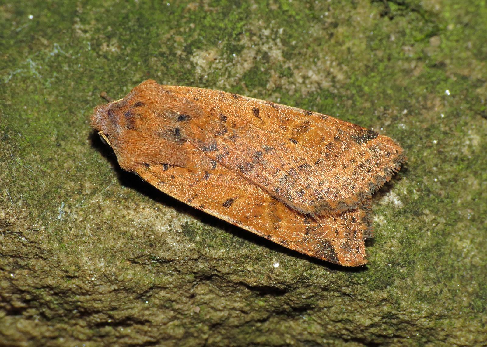 2267 Beaded Chestnut - Agrochola lychnidis