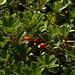 Flickr photo 'Arctostaphylos uva-ursi MJS707 C011' by: Sarah Gregg Petriccione.