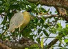 Capped Heron (Pilherodius pileatus), Mato Grosso, Brazil by Free pictures for conservation