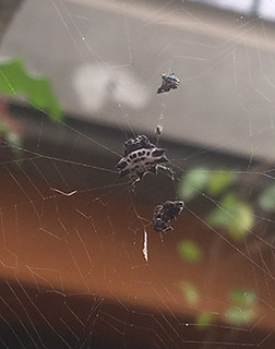 Mon, 06/08/2015 - 3:20pm - Likely a species in the Micrathena genus (Photo Credit: Tim Mayes)